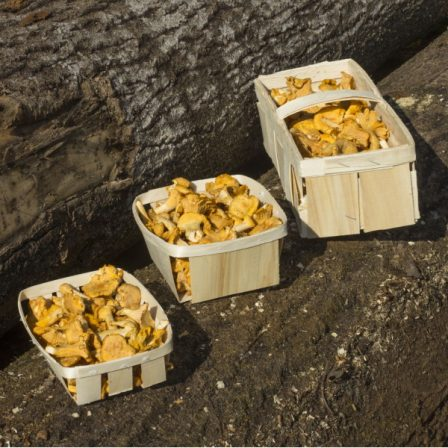 Šviežios voveraitės miško grybai medinė pakuotė
